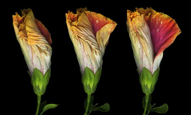 Hibiscus Triptych